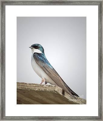 Tree Swallow Portrait Framed Print by Anita Oakley