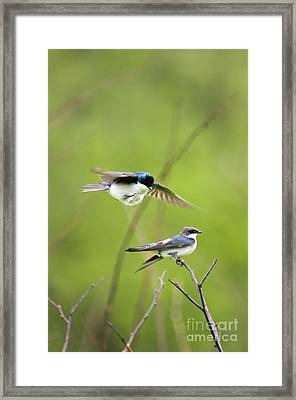 Tree Swallows - D008997 Framed Print by Daniel Dempster