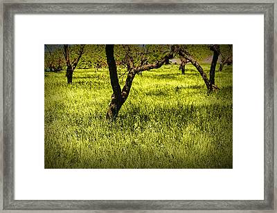 Tree Trunks In A Peach Orchard Framed Print
