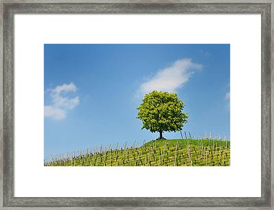 Tree Vineyard And Blue Sky Framed Print by Matthias Hauser