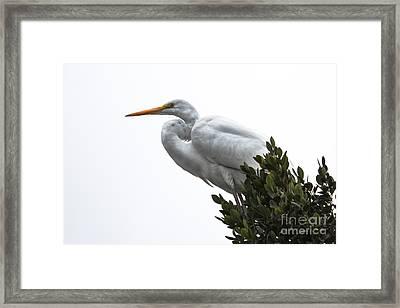 Treed Egret Framed Print by Robert Bales