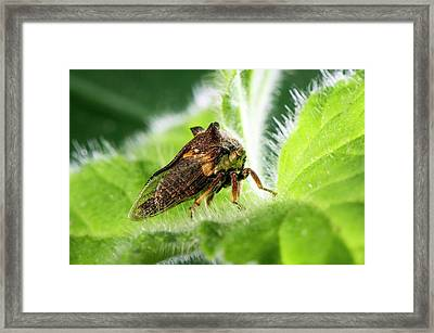 Treehopper On A Leaf Framed Print by Philippe Psaila