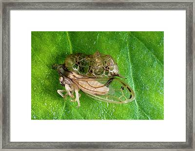 Treehopper Framed Print by Philippe Psaila/science Photo Library