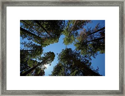 Trees At Tuolumne Sequoia Grove Framed Print by David Wall