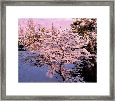 Trees Covered In Snow Framed Print by Maurice Nimmo/science Photo Library