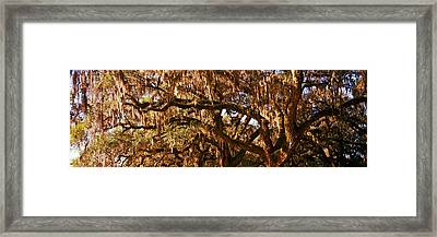 Trees Covered With Spanish Moss, Boone Framed Print by Panoramic Images