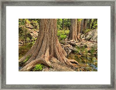 Trees In Hamilton Creek Framed Print by Adam Jewell