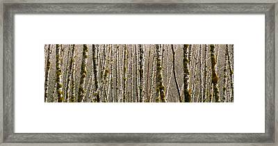 Trees In The Forest, Red Alder Tree Framed Print by Panoramic Images
