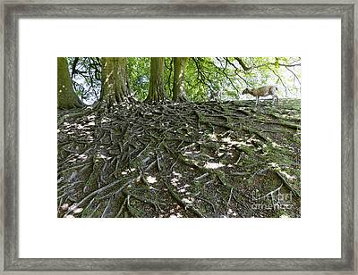 Trees Sheep And Roots In Wiltshire England Framed Print by Robert Preston