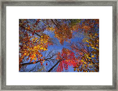 Treetops In Fall Forest Framed Print