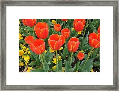 Trendy Tulips  Framed Print