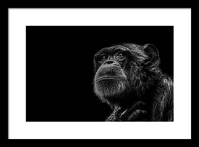 Chimpanzee Framed Prints