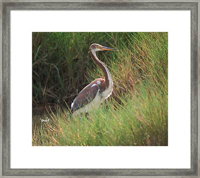 Framed Print featuring the photograph Tri-color Heron by Leticia Latocki