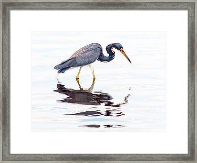 Framed Print featuring the photograph Tri-color Heron by Phil Stone