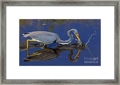 Framed Print featuring the photograph Tri Color Heron Splash by Larry Nieland