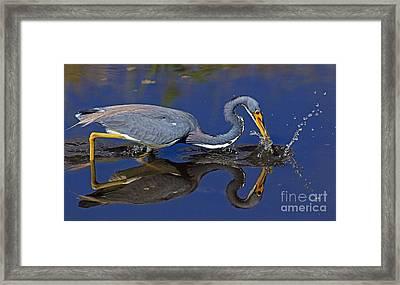 Tri Color Heron Splash Framed Print by Larry Nieland