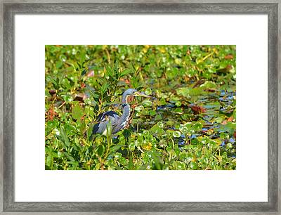 Tri Colored Heron 2 Framed Print