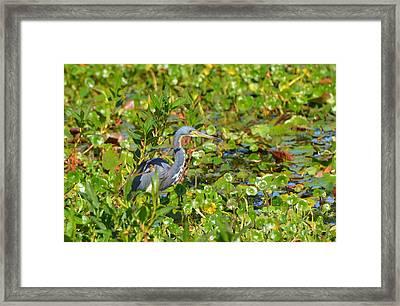Tri Colored Heron 2 Framed Print
