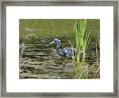 Tri-colored Heron At Local Pond Framed Print