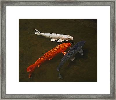 Tri-colored Koi Framed Print by Rona Black