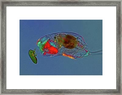 Trichocerca Rotifer Framed Print