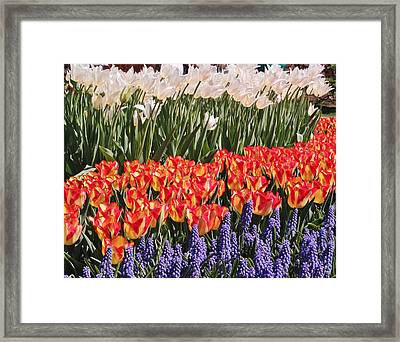 Tricolor Tulips Framed Print by Laurie Tracy