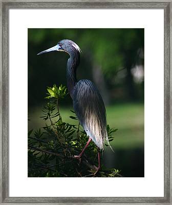 Tricolored Heron 11x14 Framed Print by David Lynch