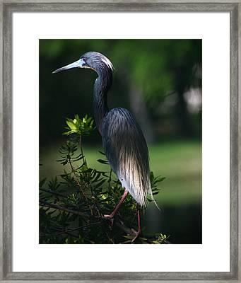 Tricolored Heron 8x10 Framed Print by David Lynch