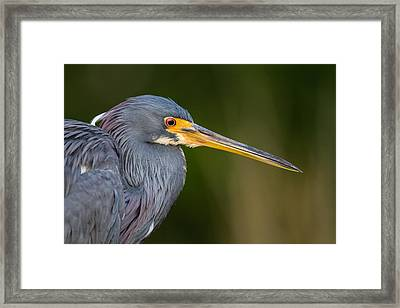 Tricolored Heron Closeup Framed Print by Andres Leon