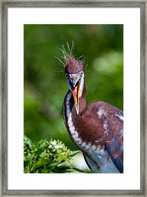 Tricolored Heron In Awe Framed Print