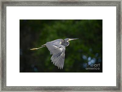 Tricolored Heron In Flight Framed Print by Kathy Gibbons