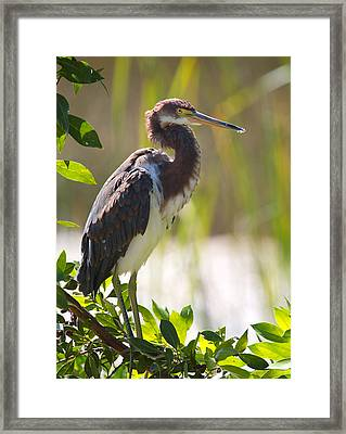 Tricolored Heron In The Everglades Framed Print