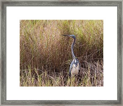 Framed Print featuring the photograph Tricolored Heron Peeping Over The Rushes by John M Bailey
