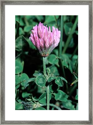 Trifolium Pratense Subsp. Semi Purpureum Framed Print by Bruno Petriglia/science Photo Library