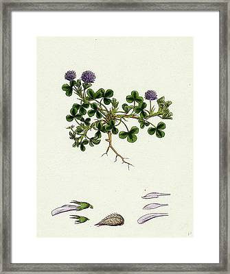 Trifolium Resupinatum Reversed-flowered Trefoil Framed Print by English School