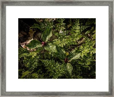 Trilium And Ferns Framed Print by Jeffrey Frazier