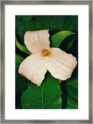 Framed Print featuring the photograph Trillium by Daniel Thompson