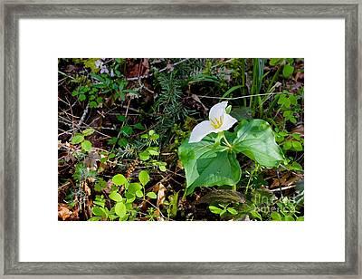 Trillium Dollar Day  Framed Print by Tim Rice