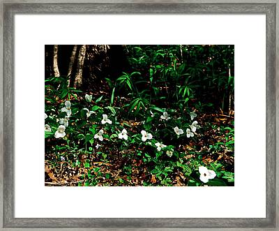Trillium In Morning Sun Framed Print by Michelle Calkins