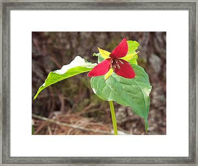 Framed Print featuring the photograph Trillium by Joy Nichols