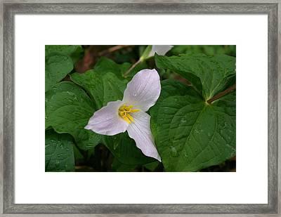 Trillium Ovatum Framed Print