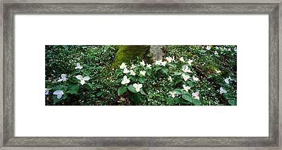 Trillium Wildflowers On Plants, Chimney Framed Print by Panoramic Images
