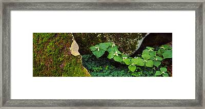 Trillium Wildflowers On Plants, Great Framed Print by Panoramic Images