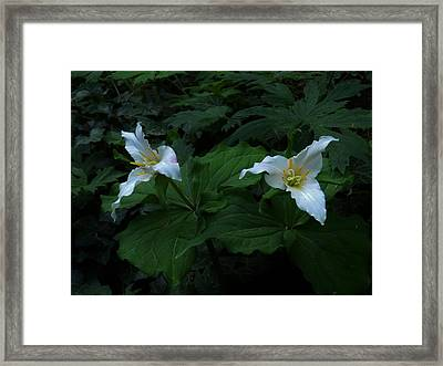 Trillium's Of The Wildwood Framed Print by Charles Lucas