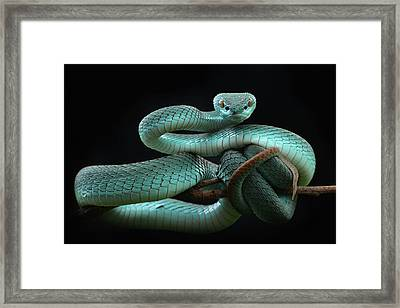 Trimeresurus Insularis [blue] Framed Print