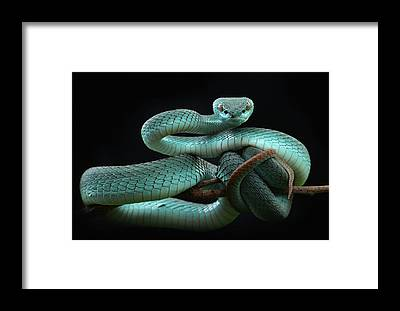 Viper Framed Prints