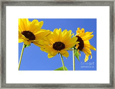 Trio In The Sun - Yellow Daisies By Diana Sainz Framed Print