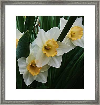 Trio Of Daffodils Framed Print by Bruce Bley