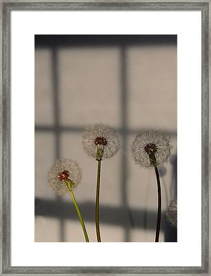 Trio Of Dandelions Framed Print