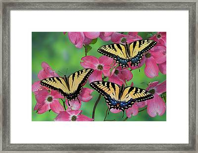 Trio Of Eastern Tiger Swallowtail Framed Print